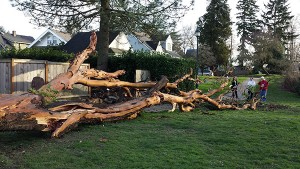 Heritage Madrona fallen